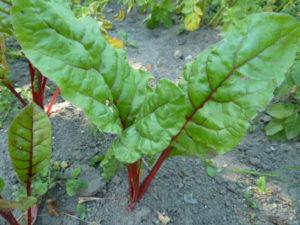 выращивание овощей в полутени