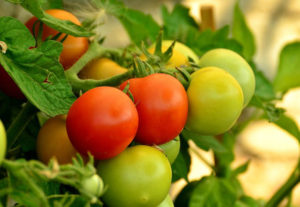 июньский урожай томатов в открытом грунте