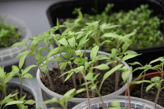рассада томатов до пикировки