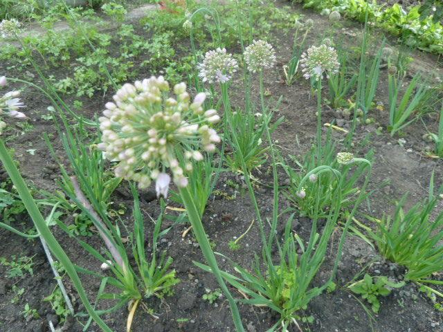 цветы лука-слизуна