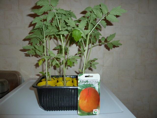 время посева томатов на рассаду