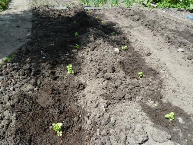 выращивание рассады корневого сельдерея