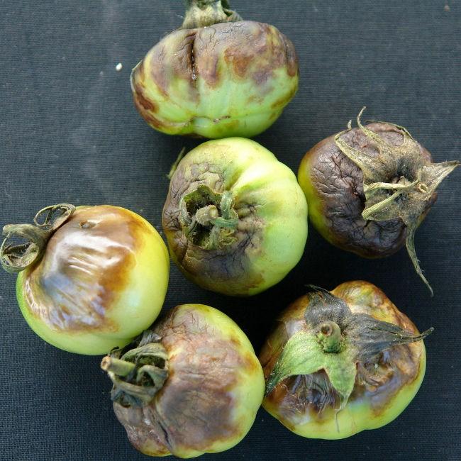 фитофтора на плодах томатов