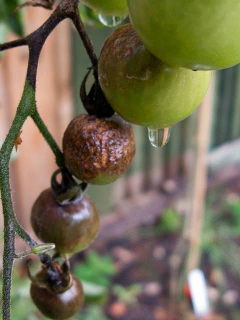 плоды томатов с признаками фитофторы