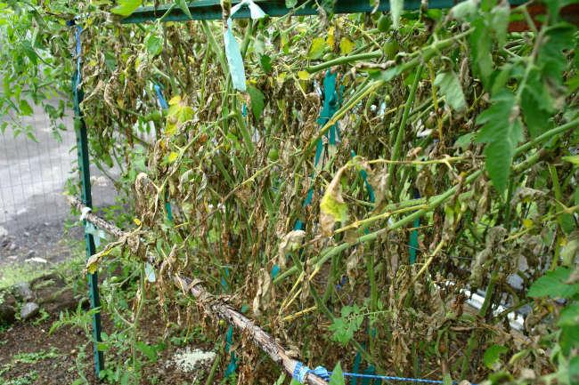 кусты томатов, пораженные фитофторой