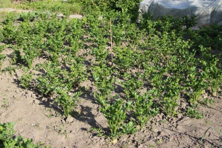 грядки с корневым сельдереем