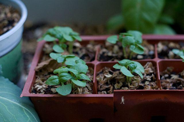 базилик в кассетах для выращивания рассады