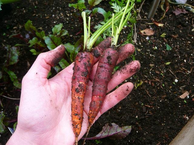 две моркови в руке