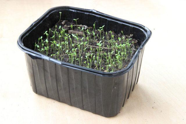 лагенария посев семян на рассаду