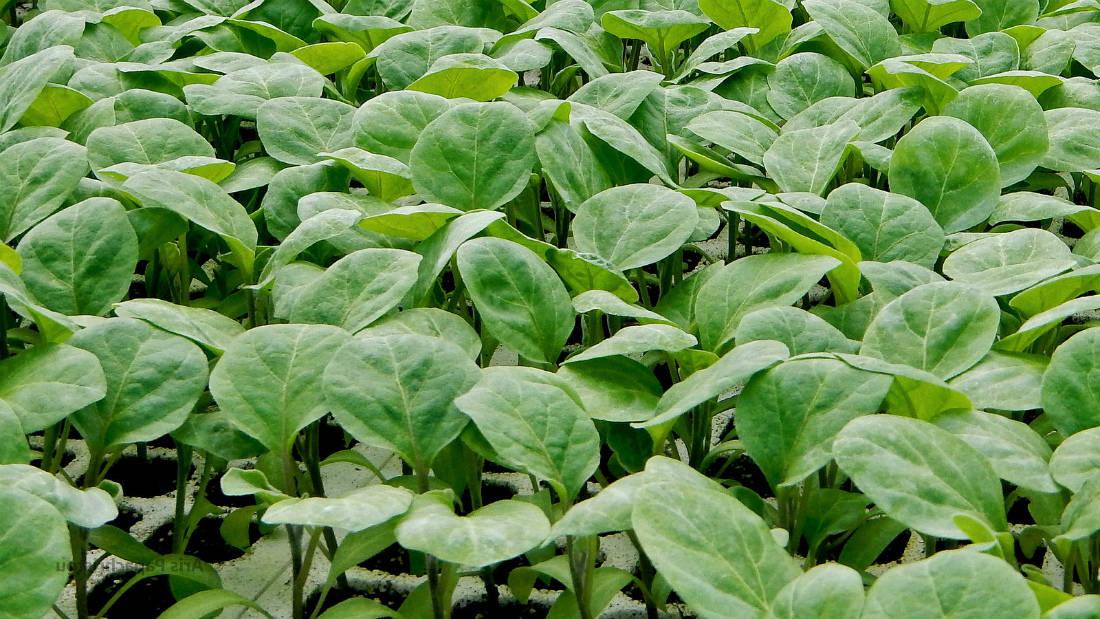 Баклажаны  выращивание рассады по всем правилам