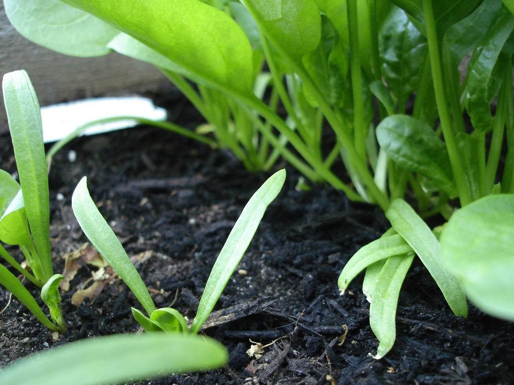 Выращивание шпината от посева семян до уборки урожая