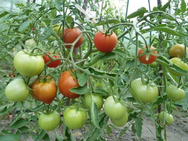 томаты Верлиока в теплице