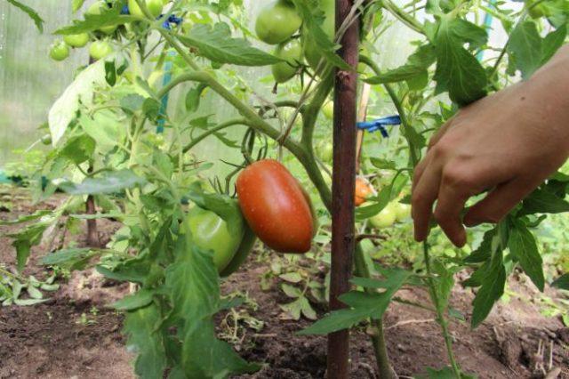 томаты Де Барао в теплице