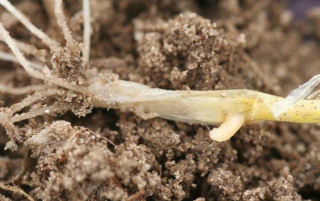 лук поврежденный луковичной мухой
