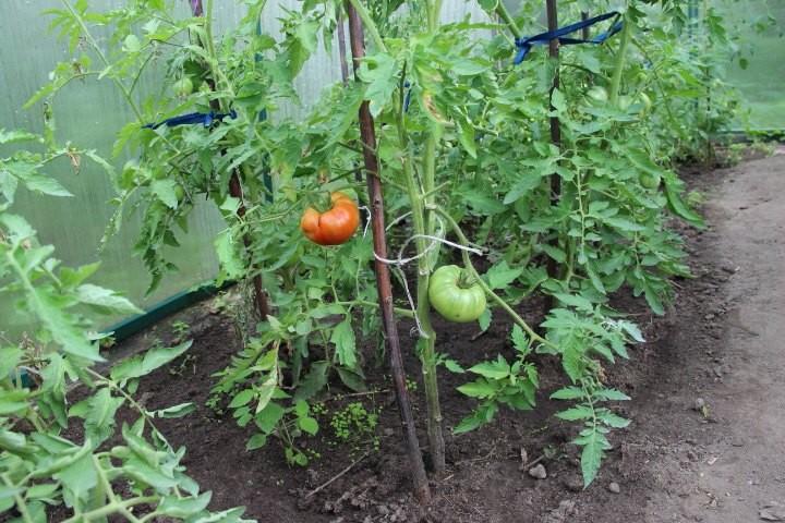 как удалять листья у томатов