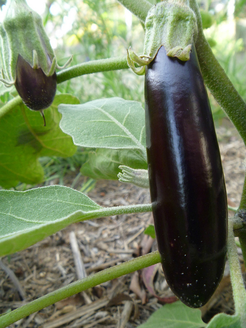 плод баклажана на растении