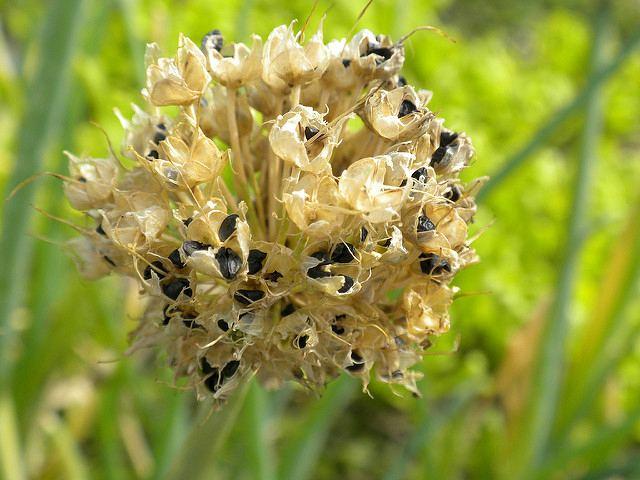 лук-батун с семенами