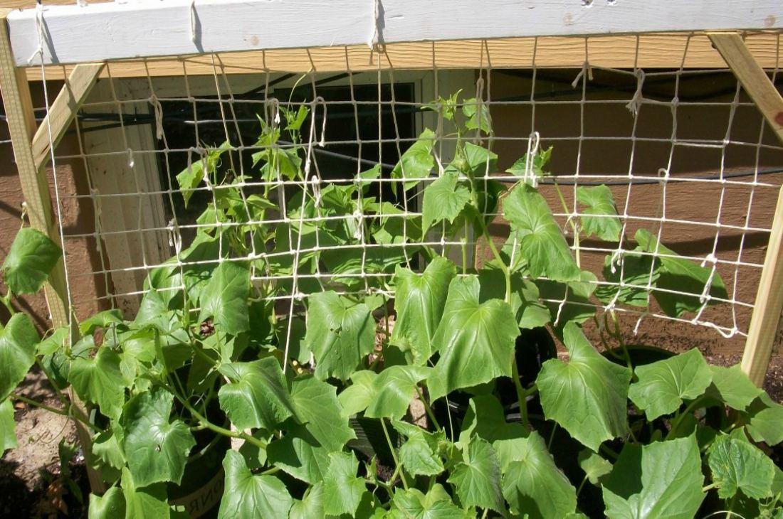 Выращивание огурцов на шпалер 131