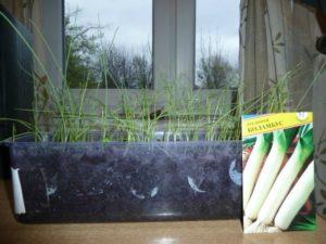 выращивание рассады лука порея