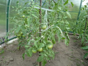 ранние томаты