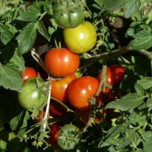 подкормки томатов