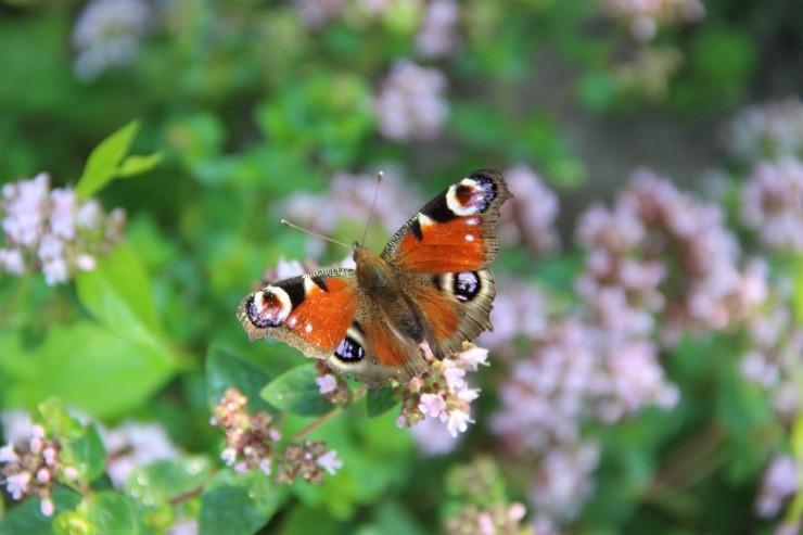 бабочка на цветах душицы