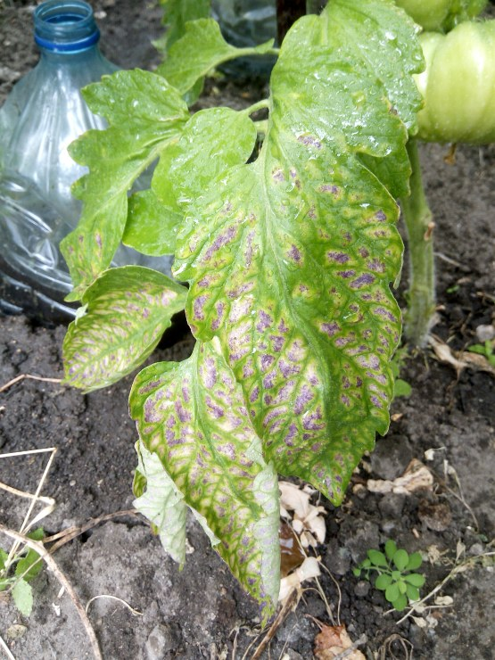 фиолетовые листья на томатах