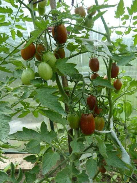 куст томата с плодами
