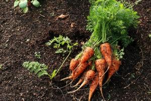 болезни моркови при хранении в погребе