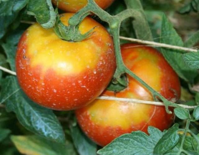 ожог на плодах томатов
