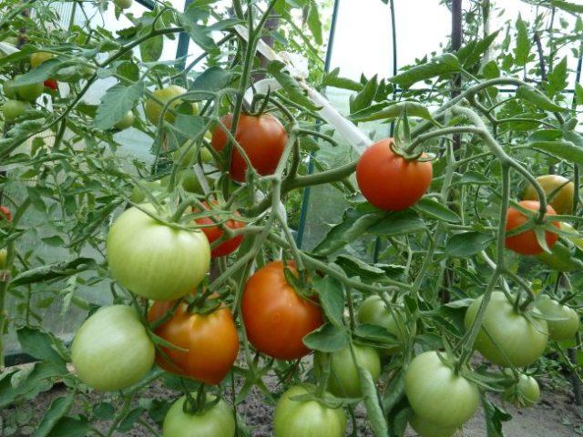 урожай томатов в теплице