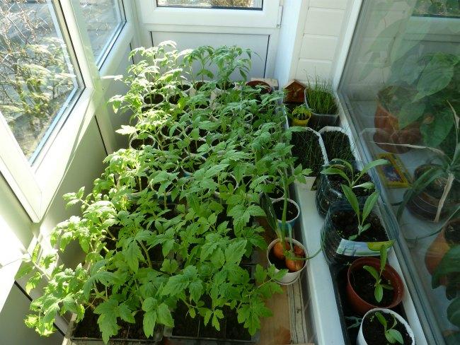 рассада томатов на застекленном балконе