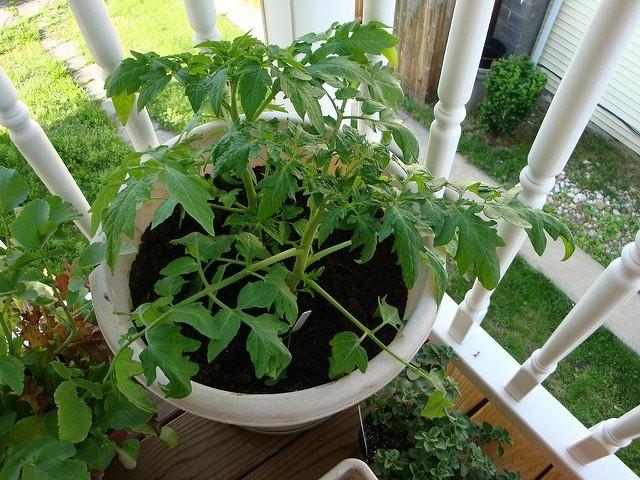 два томатных куста в ведре