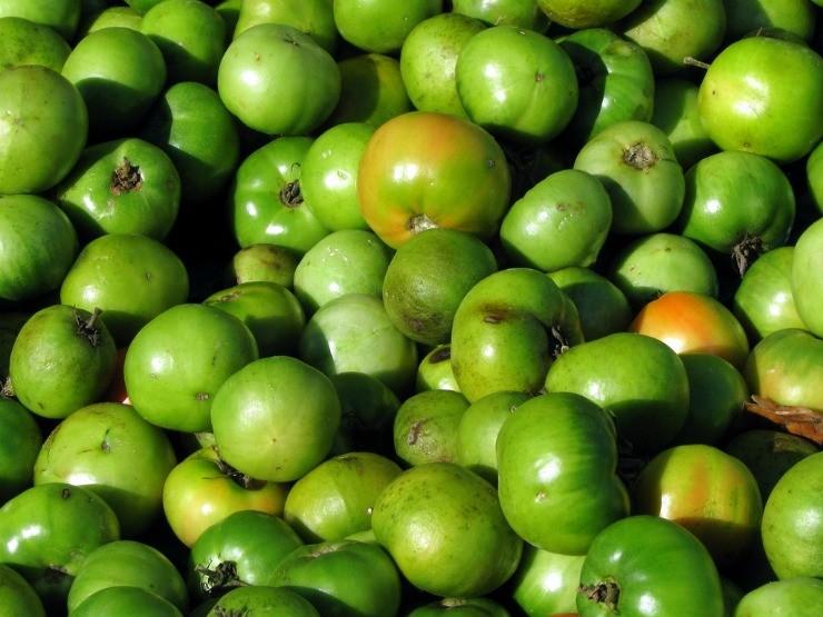 урожай томатов для дозаривания