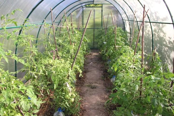Индетерминантные и детерминантные виды томатов