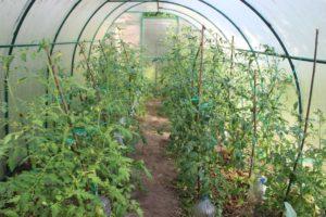 как полить томаты золой