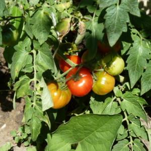 советы по выращиванию томатов