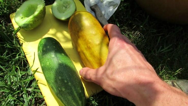 плоды огурца перед извлечением семян