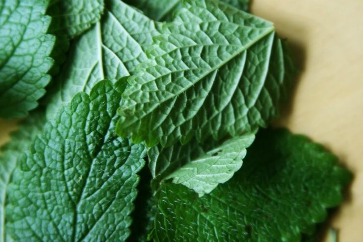 листья мелиссы