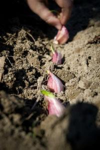 выращивание рокамболя