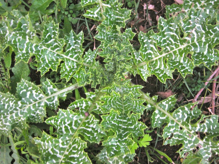 растение расторопша на участке