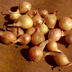 выращивание репчатого лука