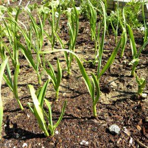 растения рокамболя на грядке