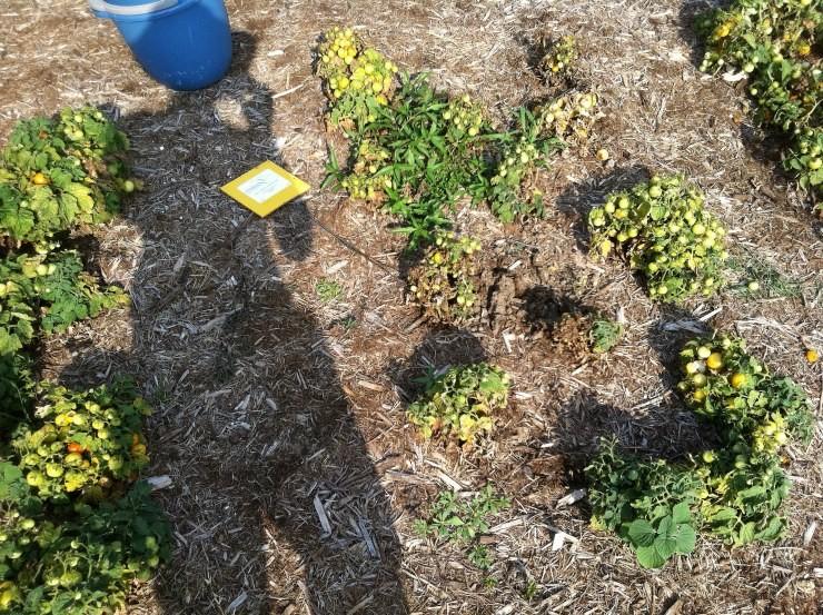 низкорослые томаты в открытом грунте