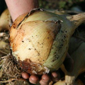 выращивание лука Эксибишен