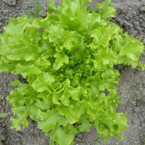 выращивание рассады салата