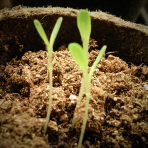 подзимние посевы овощей