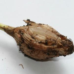 болезни и вредители репчатого лука