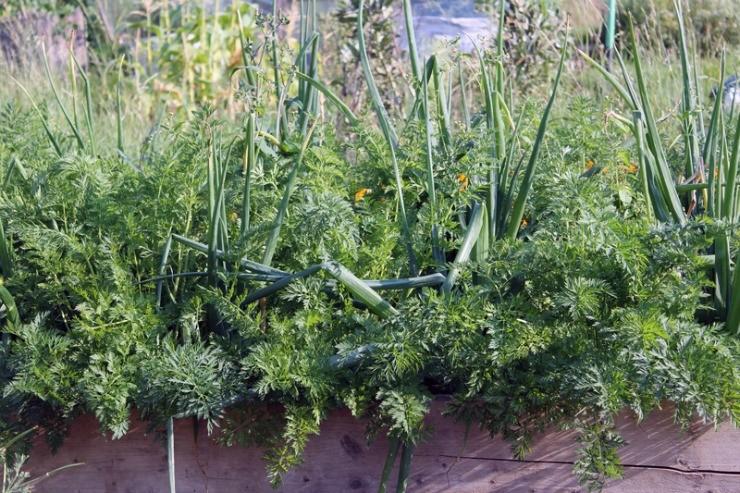 морковь и лук на одной грядке