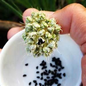 семена репчатого лука